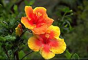 Hibiscus, Hawaii<br />