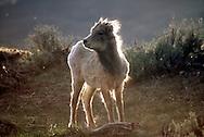 Backlit bighorn sheep lamb in northwest Yellowstone by Gardiner Montana.
