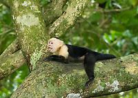 White-faced Capuchin, Cebus capucinus, resting in a tree in Manuel Antonio National Park, Costa Rica