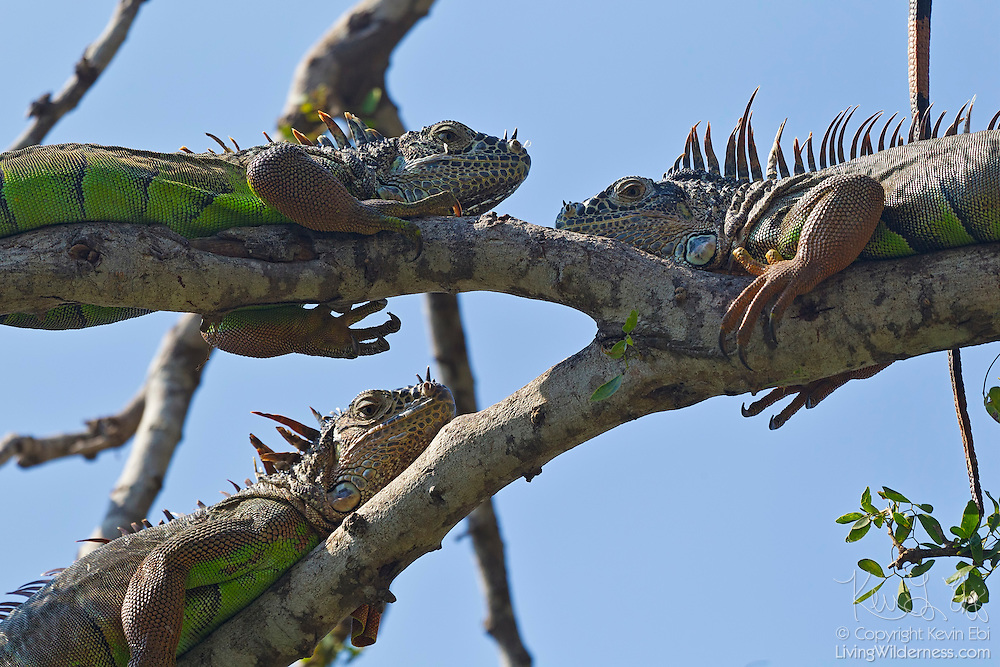 """Three green iguanas (Iguana iguana) sun themselves in a tree near Puerto Vallarta, Mexico. Green iguanas have special cells in their eyes called """"double cone cells"""" that allow them to see ultraviolet wavelenghts of light, helping them to position themselves to receive enough UVA and UVB from sunlight."""