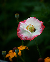 Poppy Flower. Image taken with a Nikon D5 camera and 80-400 mm VRII lens