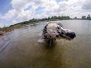 """English Setter """"Rudy"""" schwimmt am 26.06. 2018 im Teich von Stara Lysa, (Tschechische Republik).  Rudy wurde Anfang Januar 2017 geboren."""