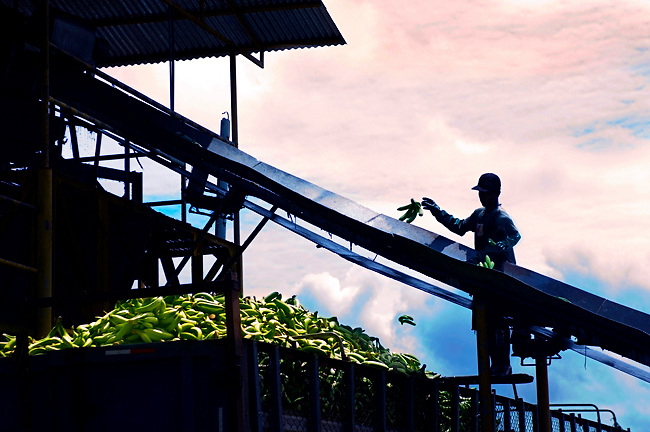 Worker Seperates Good And Bad Bananas On A Banana Farm In Costa Rica.