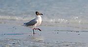 Brown-hooded gull (Chroicocephalus maculipennis) from Saunders Island, the Falkland Islands.
