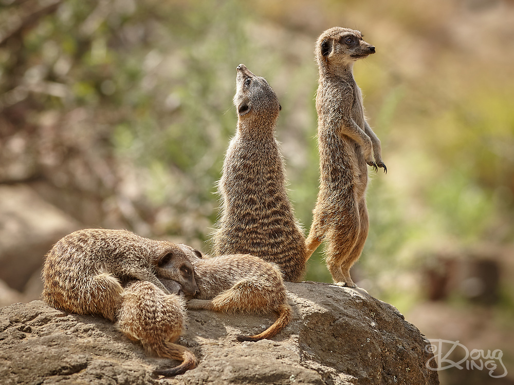 Meerkats are obliging little critters when it comes to posing photogenically. This family group at Jersey Zoo was particularly well choreographed, displaying a full range of behaviours atop their rock. The adults adopted their classic lookout poses whilst the youngsters snoozed alongside.