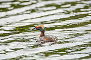 Wet Horned Grebe