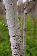 Summer Aspen Woodlands