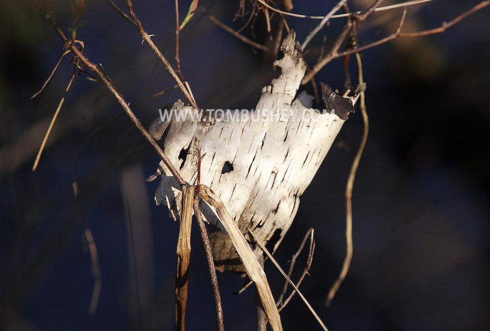 Mamakating, New York - A piece of birch bark at the Bashakill Wildlife Management Area on April 11, 2010.