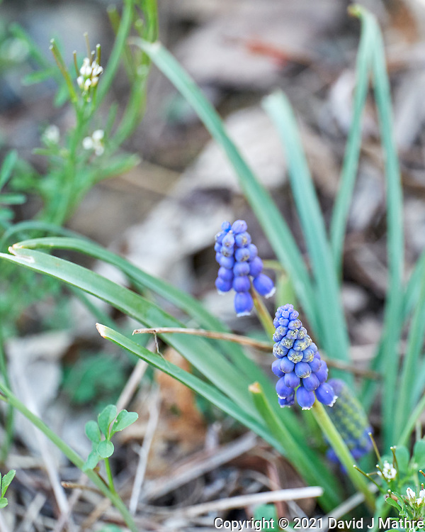 Grape Hyacinth. Image taken with a Leica SL2 camera and 90-280 mm lens.