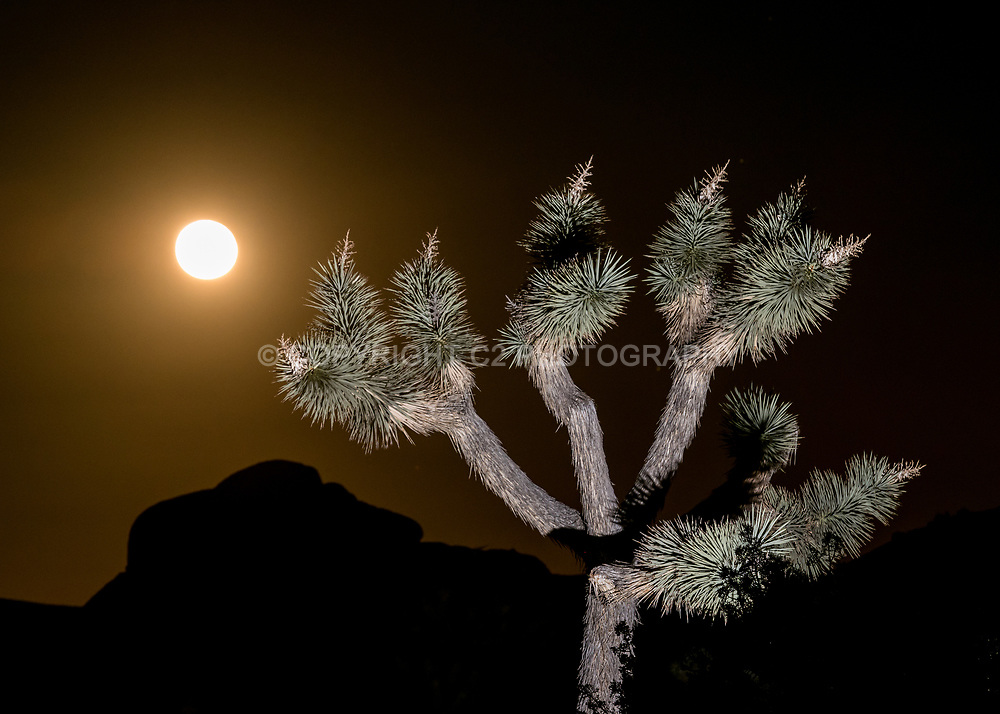 A nearly full moon rises in Joshua Tree National Park.