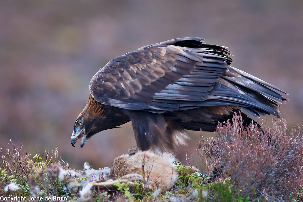 A Golden Eagle is sitting in the heather with a prey feeding in the Cairngorms National Park in the Scottish Highlands