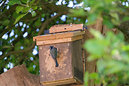 Blue-tit feeding young in nest-box