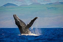 humpback whale, Megaptera novaeangliae, breaching, Kohala Mountain in background, Hawaii, USA, Pacific Ocean
