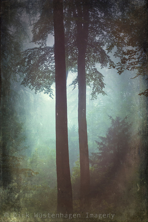 Silhouette of two beech trees in a misty forest on a summer morning