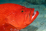 tomato grouper, tomato hind, or tomato cod, Cephalopholis sonnerati, being cleaned by cleaner shrimp, Periclimenes sp., Mabul Island, Sabah, Borneo, Malaysia