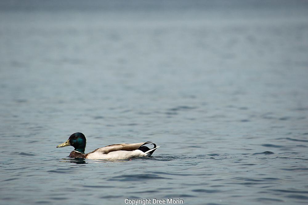 Wild mallard on a lake