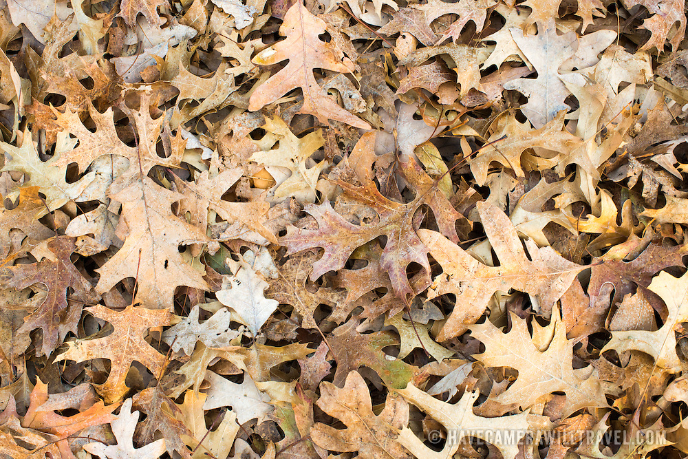 A blanket of fallen oak leaves on the ground in the fall.