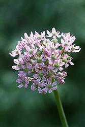 Allium nigrum 'Pink Jewel'