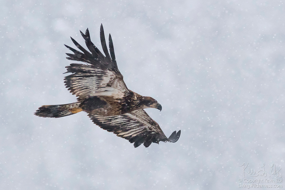 A juvenile bald eagle (Haliaeetus leucocephalus) flies over the Nooksack River near Welcome, Washington, during a snow storm. Hundreds of bald eagles winter in the area to feast on spawned-out salmon.