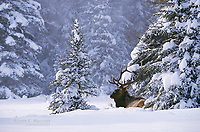 Bull elk bedded down during snowstorm