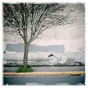 A single cherry blossom tree on the streets of Hood River, Oregon.