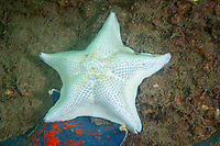 Blue bat star, Patiria pectinifera, found in the northern Pacific Ocean along the coasts of Japan, China and Russia. In literature, this species is often referred to Asterina pectinifera; the accepted name is now Patiria pectinifera. Photographed just off Zhifu Island (Chinese: 芝罘島), Shandong Province, China, byt the Bohai Sea, that is the inner part of the Yellow Sea where both the Yellow River and Hai He flow into.<br /> <br /> Conservation: The Yellow Sea is one of the most threatened marine areas on earth. Land reclamation has destructed more than 60% of tidal wetlands in only 50 years. Rapid coastal development for agriculture, aquaculture and industrial.development are primary drivers of coastal destruction in the region. In addition pollution, harmful algal blooms, invasion of introduced species are having a negative effect. There are 25 intentionally introduced species and 9 unintentionally introduced species in the Yellow Sea marine ecosystem.