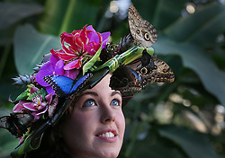 © Licensed to London News Pictures. 15/01/2016. Wisley, UK. Butterflies land on entemologist Anna Platoni as she wears a hat made from tropical flowers at the launch of 'Butterflies in the Glasshouse' at RHS Gardens Wisley. Hundreds of butterflies are released into the warm surroundings of glasshouse in this annual event. Forty different species will flit and feed among the tree ferns, palms, creepers and flowers from January 16 to March 6, 2016.    Photo credit: Peter Macdiarmid/LNP