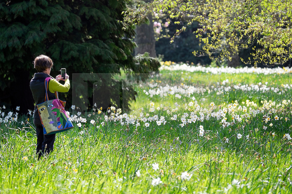 © Licensed to London News Pictures. 20/04/2016. Hampton Court, UK. A woman photographs the displays of flowers.  People enjoy the sunshine and blossom in the Wilderness Garden at Hampton Court Palace in Surrey this morning, 20th April 2016. The UK is enjoying sunny weather today. Photo credit : Stephen Simpson/LNP