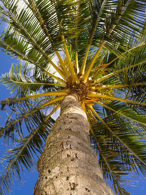 Low-angle view of a palm tree on a beach in Koloa, Kauai, Hawaii, US