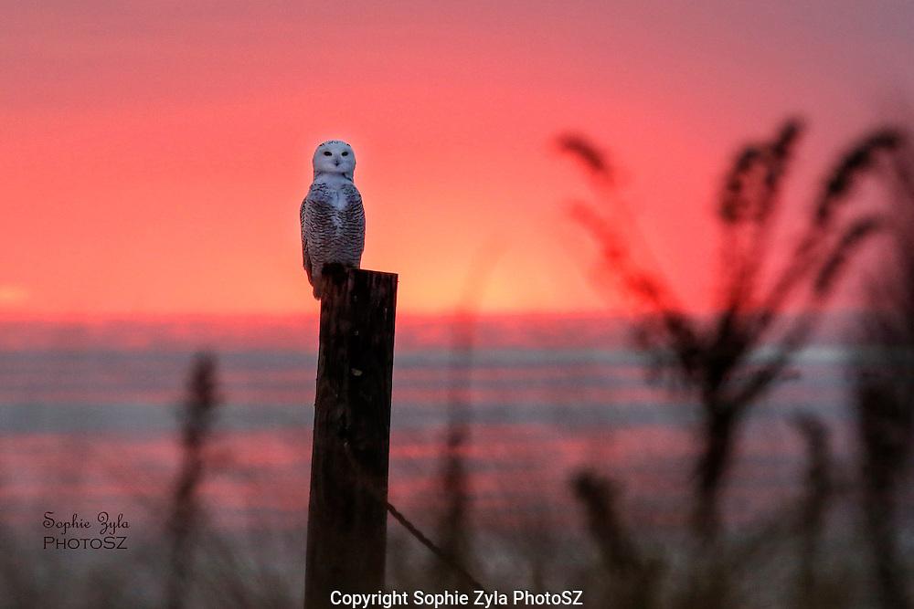 Alert Snowy Owl Sunset