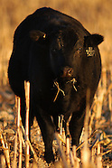 Cattle Ranchers in Nebraska