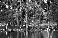 A quiet little pond and Eastern Red Cedar trees in autumn, Southwestern Ohio, USA, Juniperus virginiana