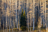 Two lone pine trees stand among the barren aspens in late Fall in Utah's Wasatch Mountains.