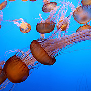 """Lions Mane jellyfish as seen at """"The Jellies Experience"""" at the Monterey Bay Aquarium, which is located on Cannery Row in Monterey, California, on Friday July 13, 2012.(AP Photo/Alex Menendez)"""