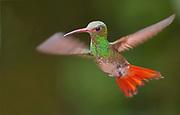 Rufous-tailed Hummingbird, (Amazilia tzacatl) from Mindo, Ecuador.