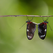 A butterfly pair mating. Costa Rica