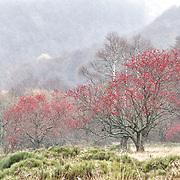 Valley de Chaudefour,  Sorbus aucuparia, mountain ash trees in the wet snow