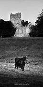 A Kerry Cow (all black) grazing in a field at The Franciscan Monastery at Muckross Abbey, Killarney, Kerry Ireland.<br /> Photo: Don MacMonagle <br /> e: info@macmonagle.com