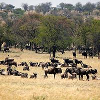 Africa, Tanzania, Serengeti. Wildebeest and trees in the Serengeti.