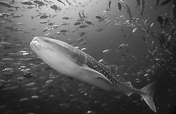 A Whale Shark, Rhincodon typus, swims amidst a swirling mass of Big-Eye Trevally, Caranx sexfasciatus. Hin Muang, Thailand, Andaman Sea