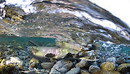Chum Salmon Spawning<br /> <br /> Paul Vesei/Engbretson Underwater Photography