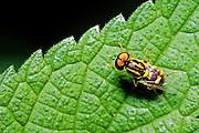 American Hover Fly (Metasyrphus americanus) on leaf.