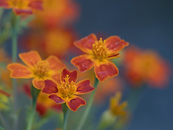 United States, Washington, Bellevue, orange flowers