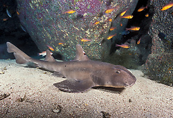 A Mexican Horn Shark, Heterodontus mexicanus, rests among rocks on a sand bottom. Guadalupe Island, Mexico, Pacific Ocean