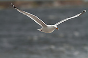 Herring gull in flight over Chanonry Point on the Moray Firth, part of the Black Isle of Scotland.