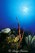 coral reef with red finger sponges, Amphimedon compressa, Ambergris Caye, Belize, Central America <br /> ( Caribbean Sea )