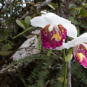 Wild orchids, Marojejy National Park