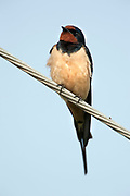 Barn Swallow, Hirundo rustica, Lesvos Island, Greece, Passage Migrant, perched on wire, spring , lesbos