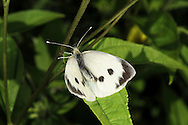 Large White Pieris brassicae Wingspan 60mm. As its name suggests, this the largest British 'white' butterfly. Adult upperwings are creamy-white with black tip to forewing; female has additional two spots on forewing. Underwings are yellowish. Adult flies May–September. Larva is black and yellow and feeds on cabbages and related plants; usually found in groups. Common and widespread, and often seen in the garden.