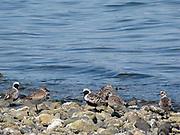 black bellied plover shorebird